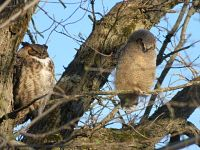 great horned owl and owlet in a tree