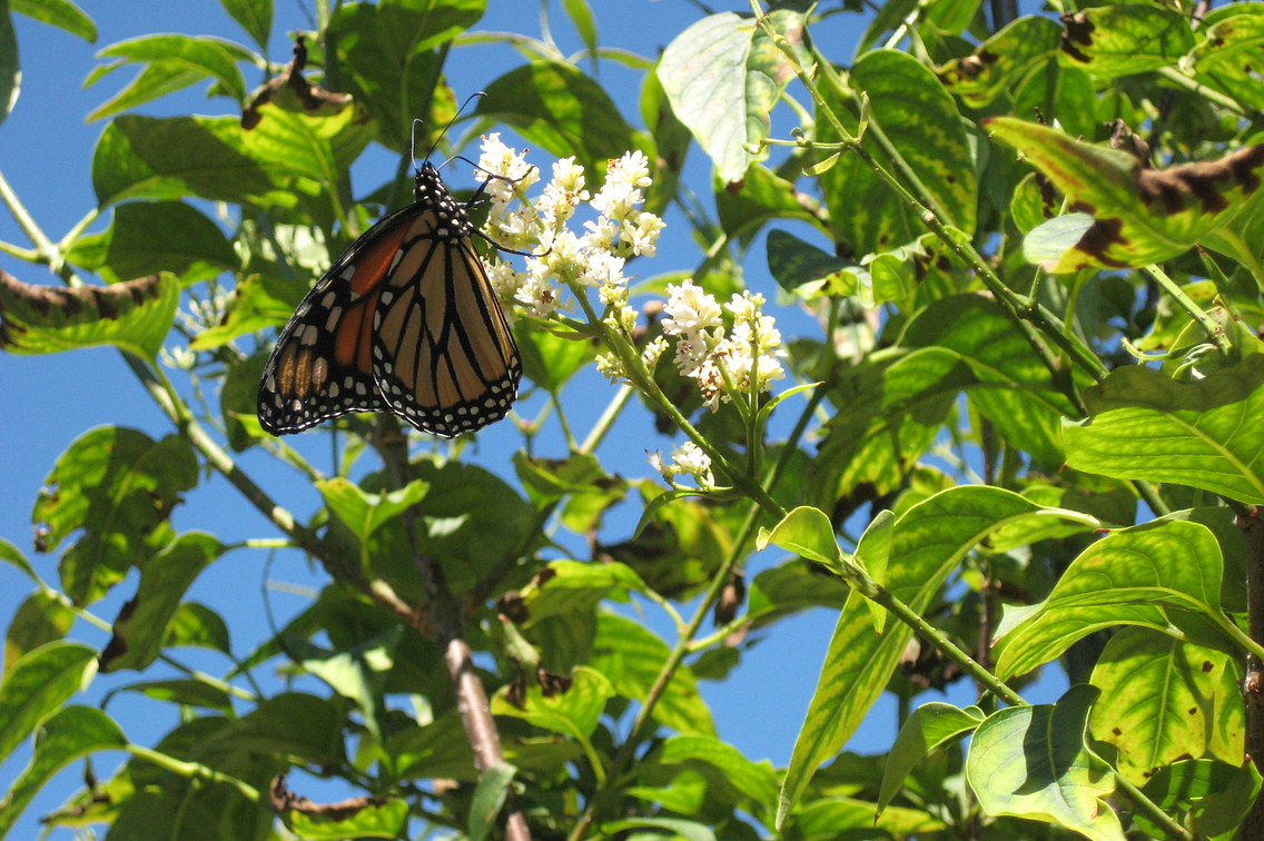 Photo of a monarch butterfly on a white blossom