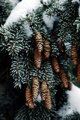 Snow-covered spruce branch with cones
