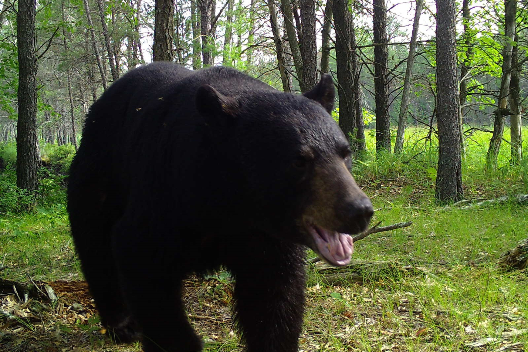 Closeup of big black bear walking in forest