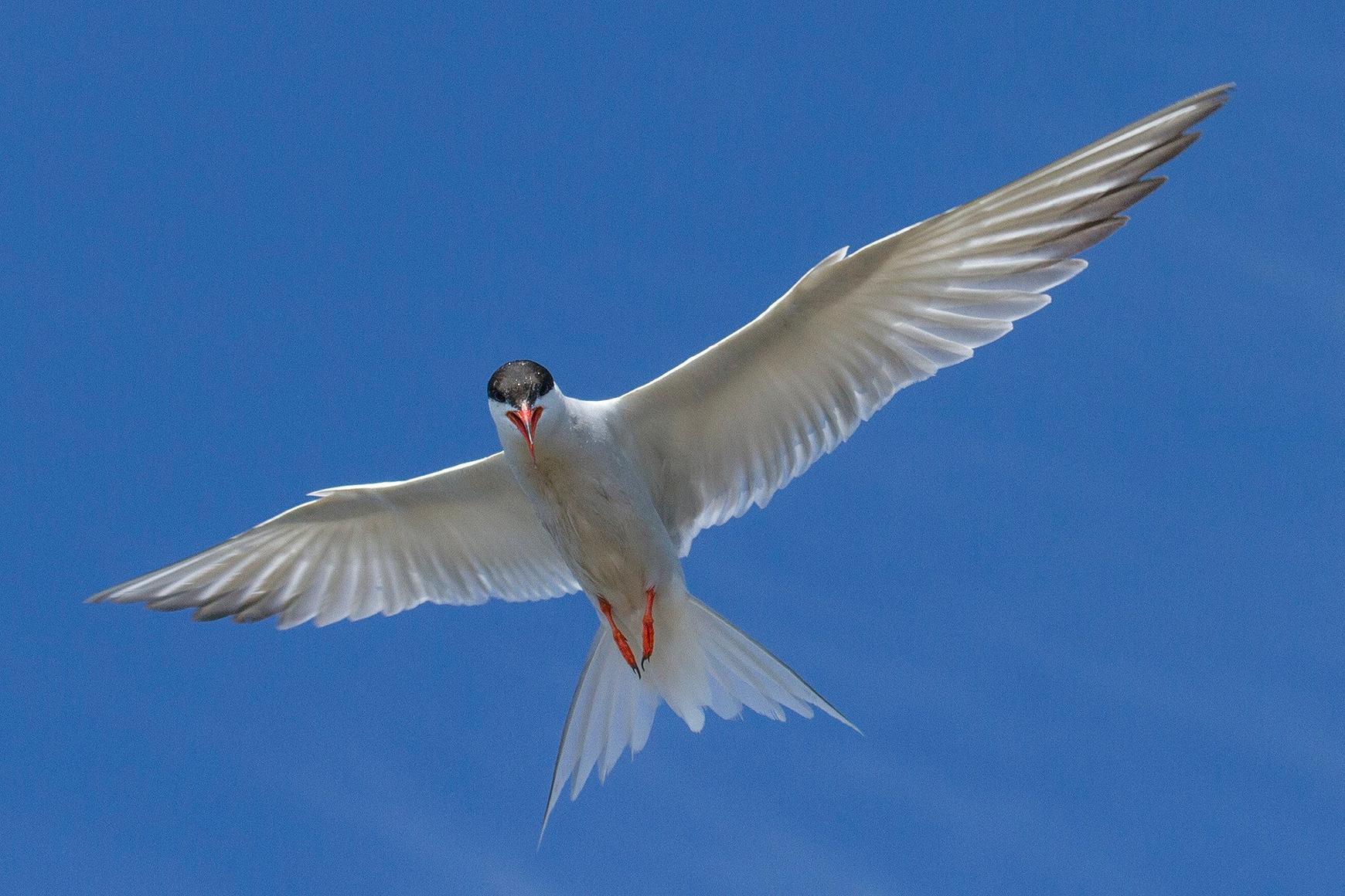 Tern in flight against a blue sky