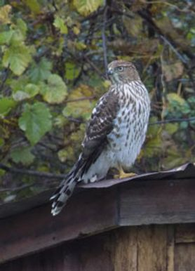Cooper's hawk on an outbuilding roof