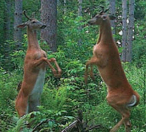 two bucks on hind legs mirroring each other