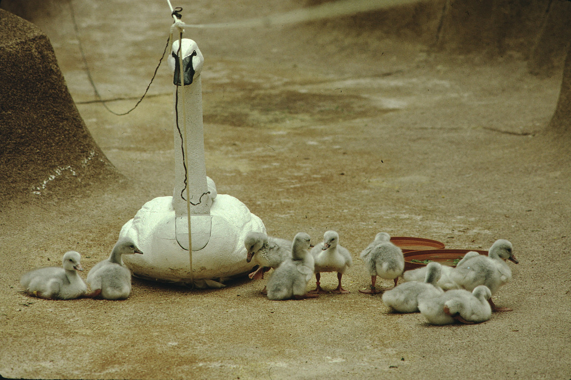 A decoy trumpeter swan sits on a floor with several small cygnets gathered around it