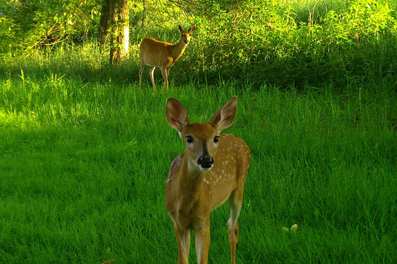 Fawn looks into camera while doe looks on in background in lush green wooded setting
