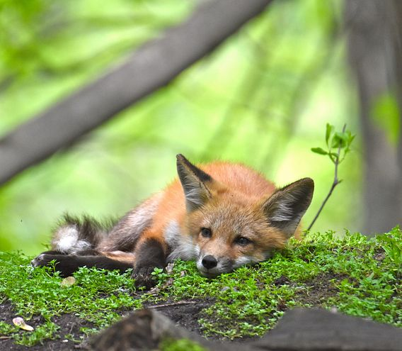 a fox kit lays about at nature center grounds