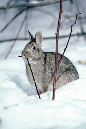 Cottontail rabbit sits in snow nibbling on thorny branch