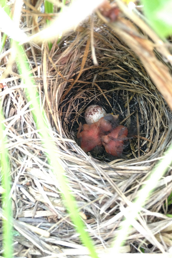 Bird nest with young birds in it