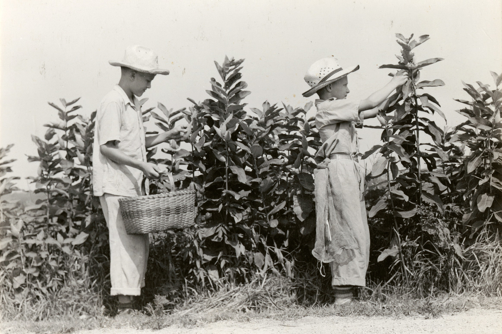 Historic photo of two young boys picking milkweed pods