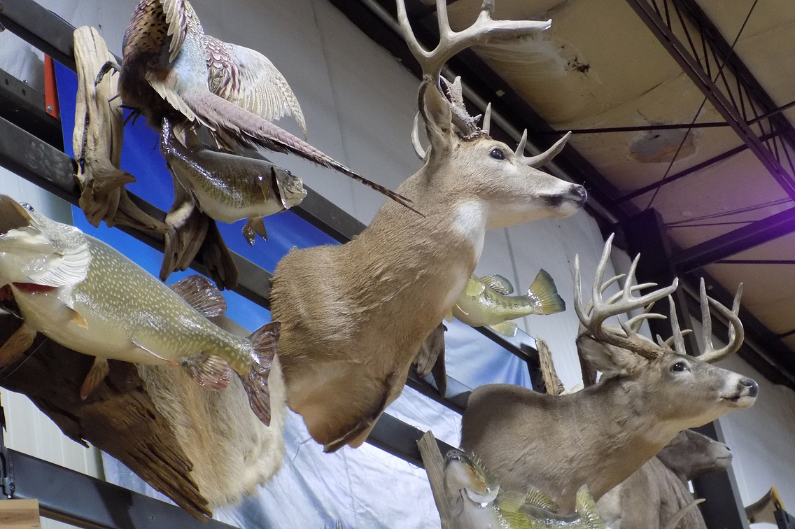 Various mounts of deer, pheasant and fish hanging on a wall
