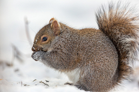 Gray squirrel nibbles on a seed in snowy setting