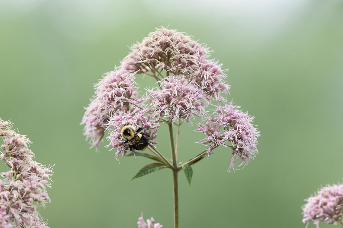 Photo of a bee on a Joe-pye weed flower