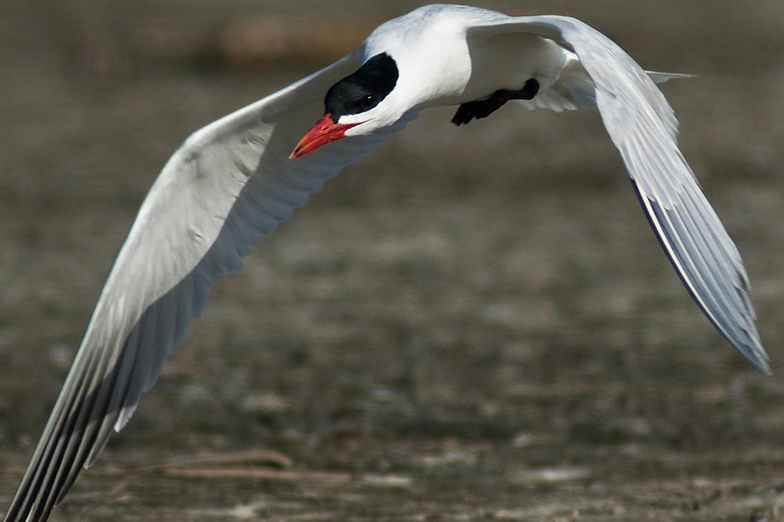 Tern in flight against a mottled background