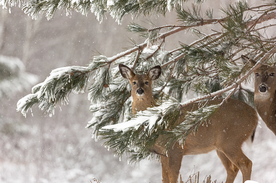 White-tailed deer stand among snow-covered pine branches