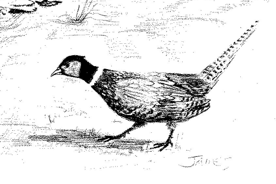black and white drawing of a ringneck pheasant