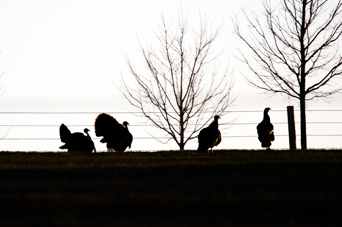 Silhouette-of-four-male-Wisconsin-wild-turkeys-looking-for-females-in-April-1150623024_4169x1926.jpeg