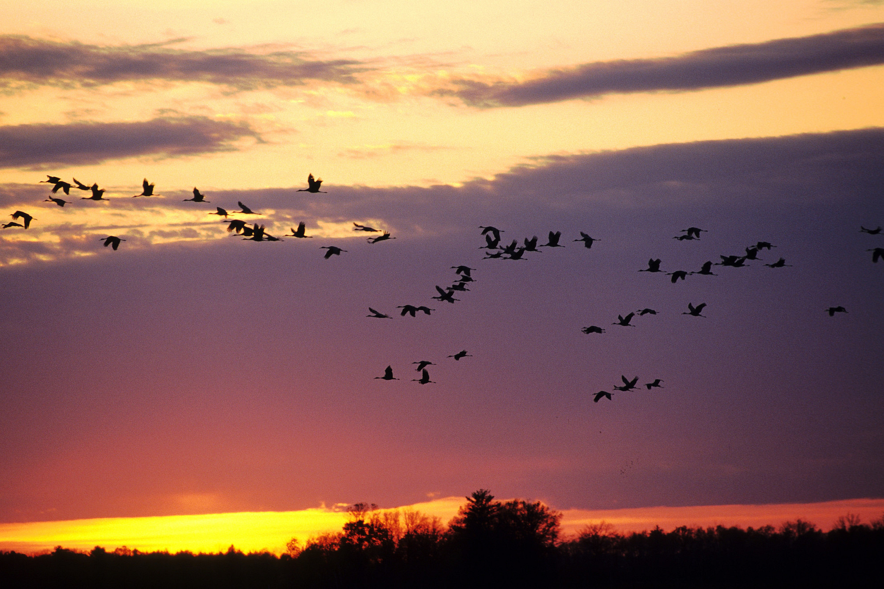 Sandhill cranes fly through a pink sunset over marshy area
