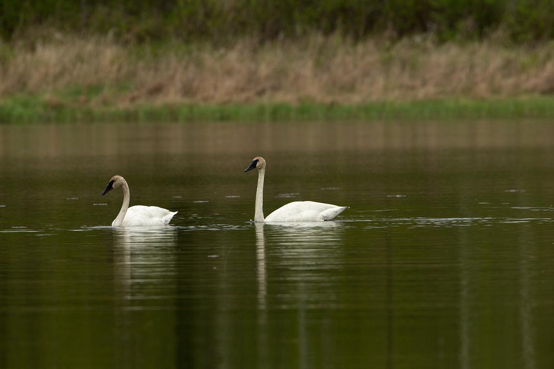 Pair of trumpeter swans swimming in lake