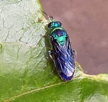 shiny silvery beetle