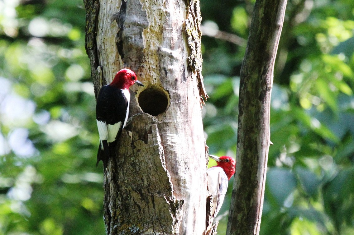 Two red-headed woodpeckers in a tree