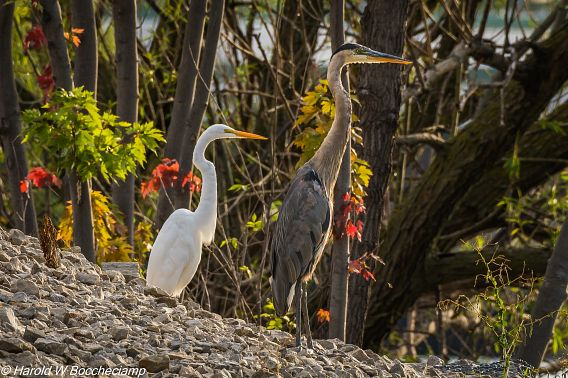 great egret and great blue heron standing side by side