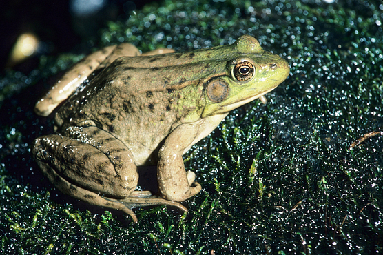 Photo of a green frog