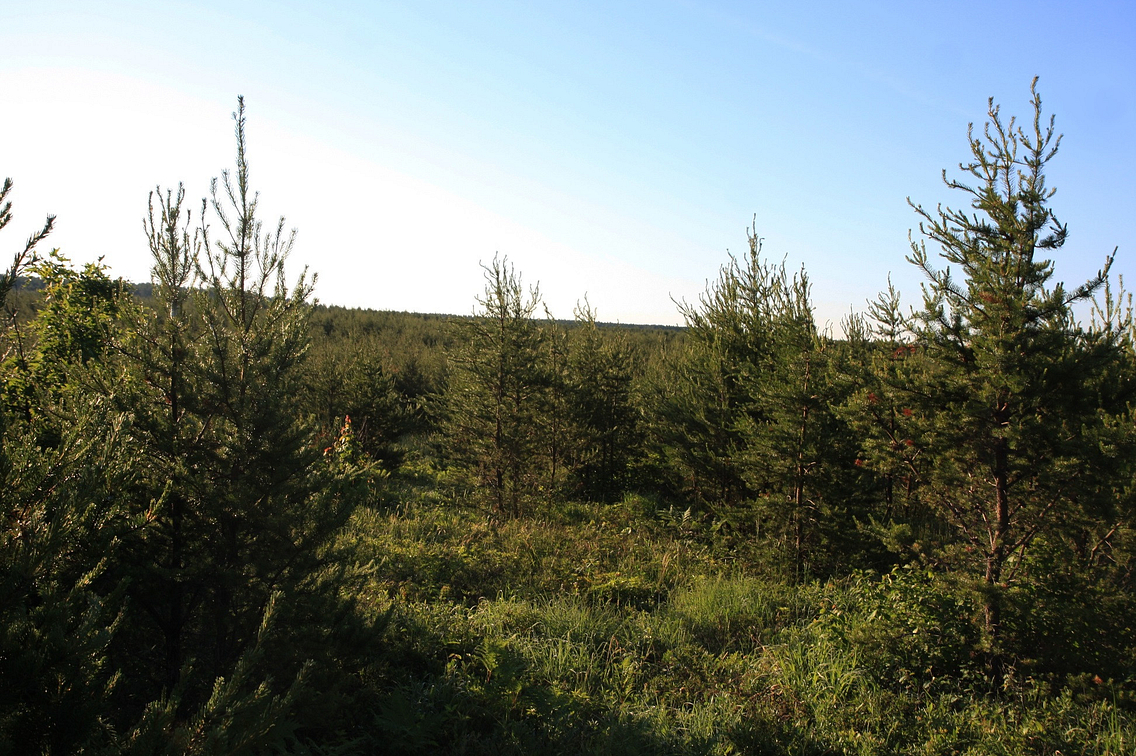 Remote area of young jack pine