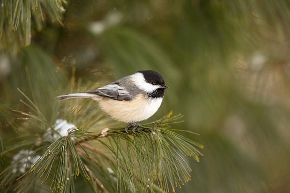 Fluffed up black-capped chickadee perched on a snowy pine tree branch
