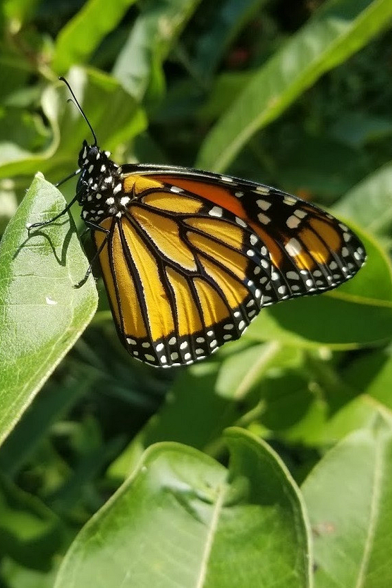 Photo of monarch butterfly on milkweed
