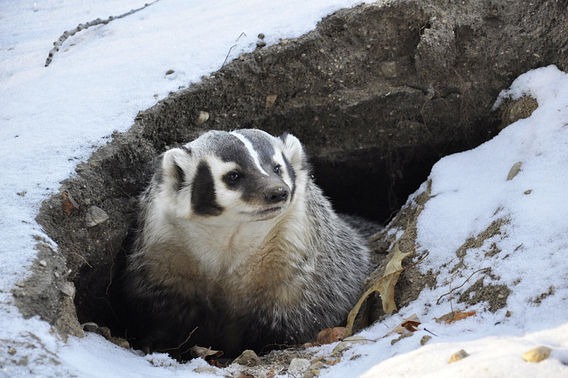 American badger emerges from his burrow