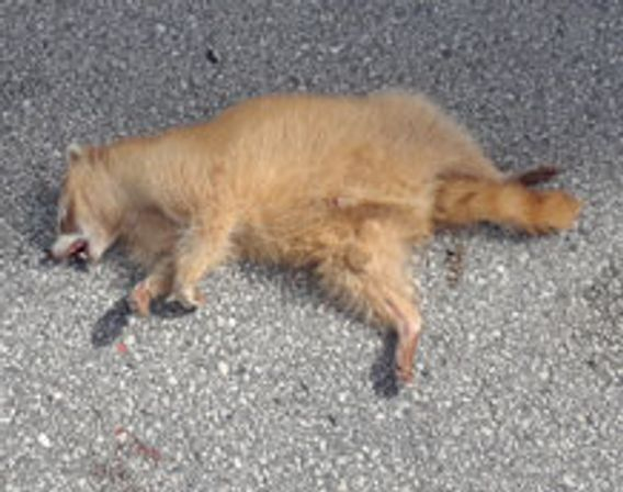 aberrant blonde raccoon found dead