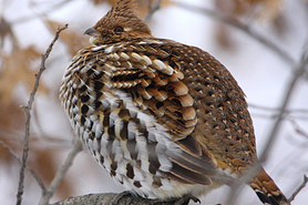 Puffed up ruffed grouse perched on a tree branch