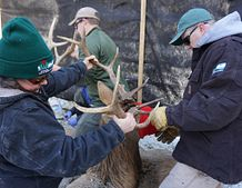 DNR staff working with Wisconsin elk.